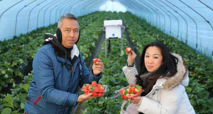 Springtime in South Korea: Strawberry Picking